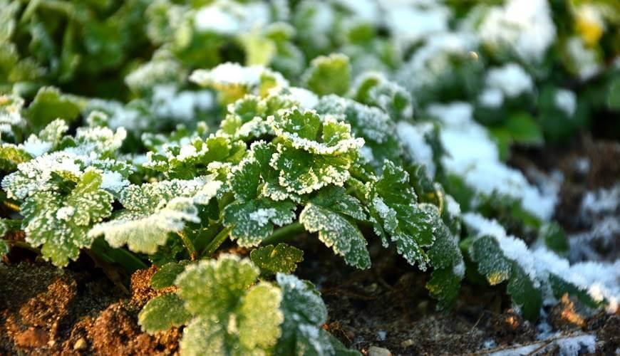 Zaštita biljaka od mraza i niskih temperatura